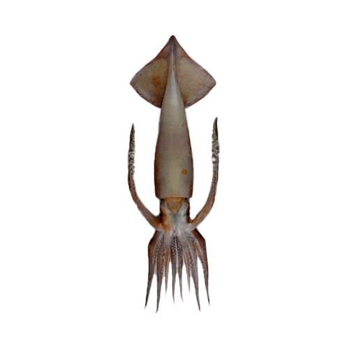 New Zealand Arrow Squid
