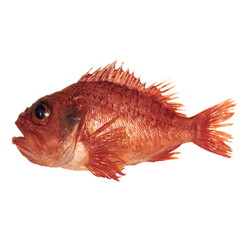 Blackbelly Rosefish